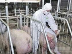 【养猪技术】母猪人工配种最佳时期,记住这几点,让你母猪更好养!