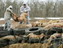 【行业动态】全球养猪业陷重大危机!两大国际组织紧急呼吁:提高非瘟防控能力!中国上半年仅出栏2.5亿头猪