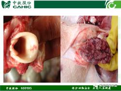 """【美瑞大讲堂】第141期:""""猪瘟、猪丹毒、猪肺疫""""发病症状与如何防治"""