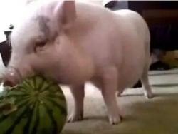 【养猪技术】西瓜在治疗猪病中的妙用